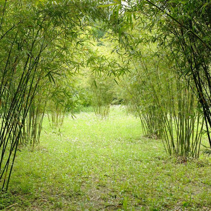 Contre les racines de bambou